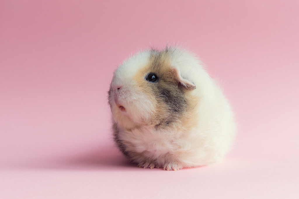 Is Guinea Pig The Right Pet For Me?