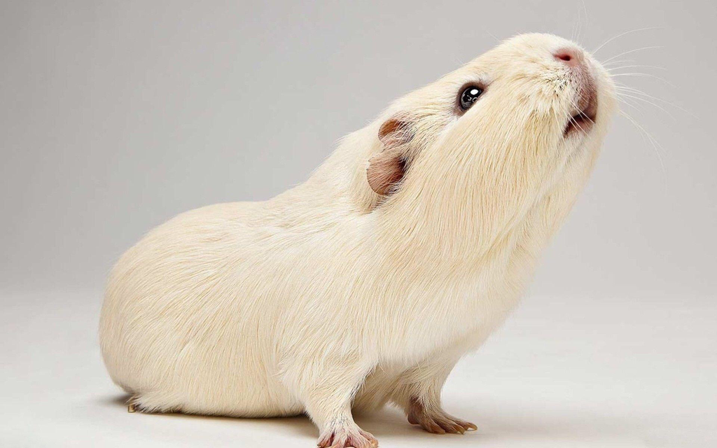Guinea Pig Behaviour and Body Language
